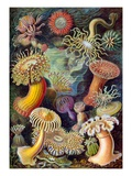 Illustration of Actiniae by Ernst Haeckel Giclee Print