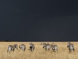 Burchell's Zebras on Savanna Below Stormy Sky Fotografisk tryk af Paul Souders