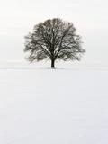 Old oak tree on a field in winter 写真プリント : フランク・ルクセック