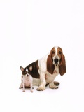 Basset hound and a chihuahua Photographic Print by Renee Lynn