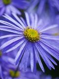 Blue Aster Fotografisk tryk af Clive Nichols