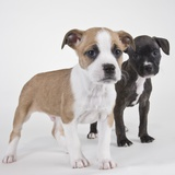 American bulldog puppies Photographic Print by Michael Kloth