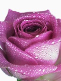 Purple rose Photographic Print by Frank Krahmer