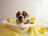 Bulldoghvalp i lille badekar Fotografisk tryk af Larry Williams
