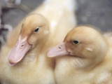 Ducklings Photographic Print by Aso Fujita