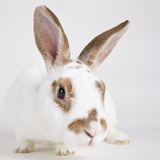 White and tan rabbit Photographic Print by Michael Kloth