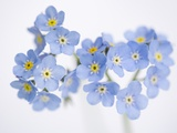 Arctic forget-me-nots Photographic Print by John Norris