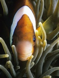 Barrier Reef Anemonefish in Lembeh Strait Photographic Print by Jeffrey Rotman