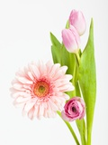 Pink Gerbera daisy, tulip and ranunculus Photographic Print by Frank Lukasseck