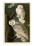 Snowy Owl Giclee Print by John James Audubon