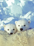 Three-month Old Twin Polar Bear Cubs (Ursus Maritimus) Resting on Their Mother's Back, Coastal Huds Photographic Print by Wayne Lynch