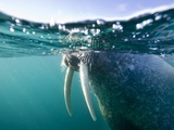 Walrus Swimming at Water Surface Near Tiholmane Island Photographic Print by Paul Souders