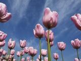 Pink tulips in a garden, Indira Gandhi Tulip Garden, Srinagar, Jammu And Kashmir, India Photographic Print