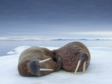Walruses lying on ice Photographic Print by Paul Souders