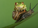 Tree Frog Resting on Snail's Shell Photographic Print by David Aubrey