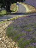 Lavender field and winding road Photographic Print by Doug Pearson