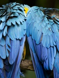 Two blue and gold macaws Photographic Print by Paul Souders
