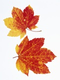 Maple Leaves in Autumn Color Photographic Print by Don Mason