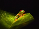 Red-eyed tree frog on leaf Photographic Print by Keren Su