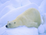 Adult Polar Bear (Ursus Maritimus) Cleaning Its Fur on the Snow. Svalbard, Arctic Norway. Photographic Print by Wayne Lynch