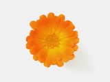 Calendula officinalis, close-up Photographic Print by Claudia Rehm