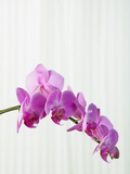 Purple orchids Photographic Print by Steve Hix