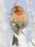 Male house finch on hoarfrost-covered tree in winter Photographic Print by Scott T. Smith
