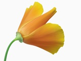 California Poppy Photographic Print by Frank Krahmer