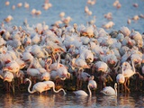 Greater flamingo colony in lagoon Photographic Print by Theo Allofs