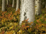 Colorful Autumn Leaves and White Trunks of Aspen Trees Photographic Print by John Eastcott &amp; Yva Momatiuk