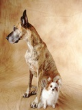 Papillon and Great Dane Photographic Print by Don Mason