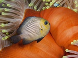 Damselfish (Descyllus marginatus), Egyptian Red Sea, Red sea anemone background 03-12-06 Photographic Print