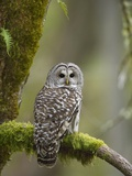 Barred Owl Perched on Mossy Branch, Victoria, Vancouver Island, British Columbia, Canada. Photographic Print by Jared Hobbs