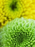 Green and yellow Chrysanthemums Photographic Print by Clive Nichols