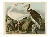 White Ibis Giclee Print by John James Audubon
