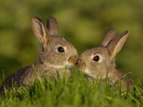 Young Rabbit Kits Rubbing Noses Photographie par Andrew Parkinson