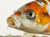 Face of koi fish Photographic Print by Martin Harvey