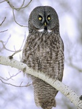 Adult Great Gray Owl (Strix Nebulosa) Hunting in a Winter Roadside, Northern Alberta, Canada. Photographic Print by Wayne Lynch