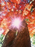 Sunlight shining through trees - Fotografik Baskı