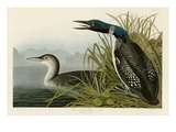 Great Northern Diver or Loon Giclee Print by John James Audubon