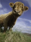 Shaggy haired highland cow Photographic Print by Macduff Everton