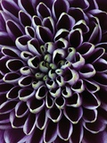 Close-up of Chrysanthemum Flower Photographie par Clive Nichols