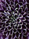 Clive Nichols - Close-up of Chrysanthemum Flower Fotografická reprodukce