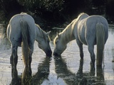 Camargue Horses Photographic Print by Christophe Boisvieux