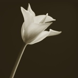 Tulip by Tom Marks Photographic Print by Tom Marks