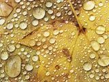 Water drops on a maple leaf Photographic Print by Frank Krahmer