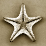Sugar Starfish Bottom Photographic Print by John Kuss