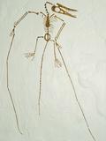 Fossil Pterosaur Ramphorhynchus gemmingi found in Bavaria Photographic Print by Kevin Schafer