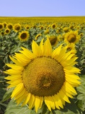 Field of Sunflowers Photographic Print by Keren Su