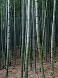 China, Zhejiang Province, Anji, Bamboo forest Photographic Print by Tony Metaxas